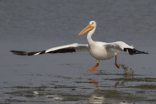 American White Pelican | Pélican d'Amérique