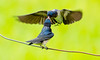 Barn Swallow (Juvenile) 2 (CheeToS0) Tags: barnswallow bird feeding japan swallow tokyo yoyogikoen yoyogipark