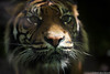 20170605-DSC_1676.jpg (ferdho) Tags: france tigredesumatra centrevaldeloire félin zooparcdebeauval pantheratigrissumatrae sumatrantiger