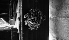 wasp (Ester Verlato) Tags: wasp bee bees bl blackandwhite home house window kill insect mortal sony sonyalpha 5100 alpha5100 country