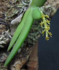 Oberonia sp (Micro-orquídeas Roberto Martins) Tags: oberonia sp epifitas micro microorquídeas mini orquídeas exposição orquidáceas galeria robertomicroorquideas robertoorquideas robertomicros permuta venda de coleção