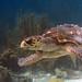 Bonaire 08.08.2017 - 059 loggerhead turtle