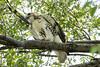 DSC_6541 juvenile redtail hawk (dllarson2009) Tags: kansas bakerwetlands