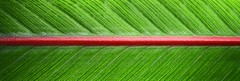 THE STRAIGHT & THE  NARROW (Irene2727) Tags: leaf texture line red green nature narrow straight bird paradise