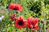 DSC_6975 (artsynancy) Tags: shetlandislandsuklerwick shetlandislands uk lerwick red poppies flowers public gardens