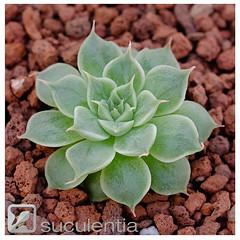 Graptoveria hybrid 3. New creation by Suculentia