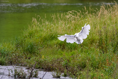 Little Egret (Egretta garzetta) applying the brakes