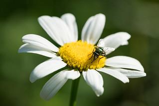 European green blowfly / Goldfliege [Lucilia sericata]