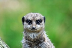 Look into my eyes, Look into my eyes, the eyes the eyes, Your under! (stellagrimsdale) Tags: eyes meerkat head animal hypnitic