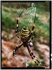 The amazing Argiope Bruennichi is back! (lobotomyzed) Tags: spider argiope bruennichi argiopebruennichi aranha araignee frelon argiopefrelon araña
