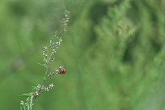 Love each other, everybody! (dlorenz69) Tags: marienkäfer käfer love liebe ladybug bug meadow wiese summer sommer two zwei macro lovers couple