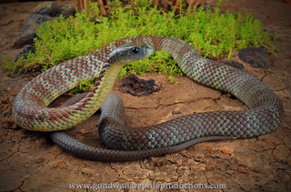 portrait: Eastern Tiger Snake