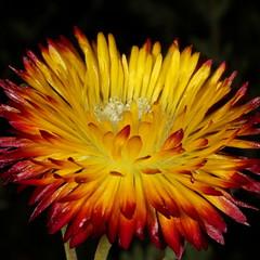 Drosanthemum bicolor - dew vygie  at Walter Sisulu National Botanical Garden