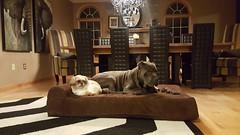 Capone (BigBarker) Tags: 1 canecorso smalldogs