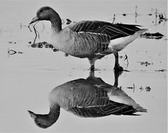 Greylag Goose and Reflection In Black and White (Gilli8888) Tags: northumberland nature coolpix nikon p900 countryside northeast druridge druridgeponds wetlands birds water waterbirds waders geese greylaggeese goose reflectionsinwater reflection blackandwhite