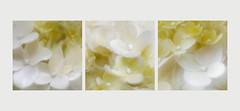Hydrangea Triptych (Inna Karpova) Tags: hydrangea garden outdoor photography summer flower doubleexposure incamera