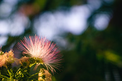 Hairy flower (Ákos Fekete) Tags: smctakumar50mmf14 takumar pentax smctakumar bokeh flower summer summertime pink green colorful colors sun afternoon hot warm evening august 2017 mbpictures beautifulcapture sony sonyalpha6000 alpha a6000 ilce6000 ilce emount evil mirrorless milc csc m42 vintage vintageprime nature naturescomposition naturephotography