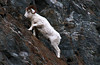 High Steppin Ram (espeeus) Tags: wildlife dall sheep fullcurl mountains alaska chugach turnagain arm beautiful