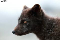 Predator (birdtracker) Tags: arcticfox arctic mammal markmedcalf markmedcalfphotography iceland