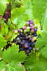 _DSC7093 (RLaballe) Tags: grapes vines whine