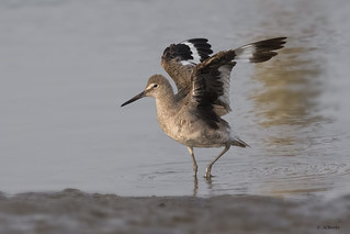 Willet / Chevalier semipalmé
