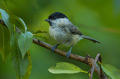 Willow tit (Bojan Žavcer) Tags: willowtit paruspalustris bird animal wildlife nature blue green orange red eye fauna colorful depthoffield wing abstract color outdoor park water white wild avian beautiful birding space long amazing blur broun exotic fascinant fast flight freedom enviromant perching stick sunlight tailed head lovely ngc