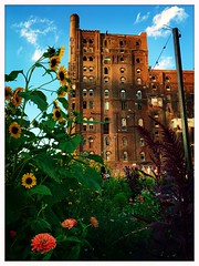Garden by the Factory (street level) Tags: gothamist newyorkcity streetphotography architecture garden dominosugarfactory sunflowers nyc iphoneography brooklyn williamsburg
