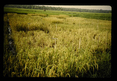 Varietal Resistant Test For Rice Blast Disease = ロクプル試験場におけるイモリ対抗性検定圃場