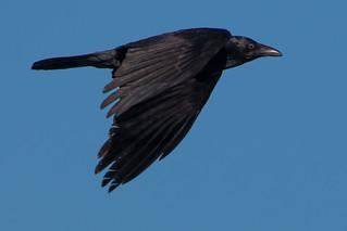 Australian Raven in Flight 1