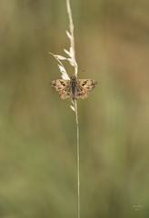 Puppet on a string [Explore 16-8-2017] (eMMa_bOOm) Tags: butterfly tiny mallowskipper carcharodusalceae viroinval macro belgium hues colours nature natural speckled