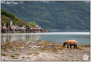 Alaska Brown Bear 070117-9754-W.jpg