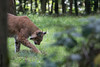 Luchs / Lynx (HendrikSchulz) Tags: 2017 canonef14xiii canonef70200f4lusm canoneos7dmarkii frankenhof hendrikschulz hendriktschulz reken september tierfotografie tierpark wildpark wildparkfrankenhof zoo zoophotography zoofotografie animalphotography luchs lynx