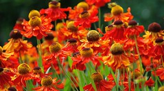 "With Heleniums as Bright as These, Life Can Be a Sneeze, I Mean Breeze! (antonychammond) Tags: helenium flower sunflowerfamily sneezeweed helenoftroy snuff garden ""doublefantasy"" saariysqualitypictures thegalaxy excellentsflowers natureselegantshots flowerarebeautiful fantasticflower thebestofmimamorsgroups photosandcalendar nature'splus greatshotss theoriginalgoldseal mixofflowers macroelsalvador flickrsportal"