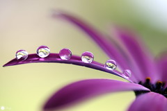 Pearls (Trayc99) Tags: pearls droplets drops dew water nature beautyinnature beautyinmacro beautiful floralart flower floral petals reflections macro