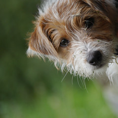 Introducing Dennis Russell (jump for joy2010) Tags: puppylove cutenesspersonified terrier mainlyjackrussell slightlydachshund tricoloured scruffy soft 17weeksold somerset uk august dennis portrait lookingatthecamera dog
