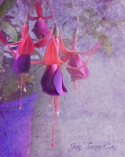Freesia in a purple pot!