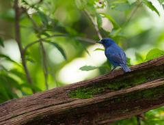 Orangequit (mak_9000) Tags: orangequit tropical wildlife endemic blueblaze rocklands bluebadass longmouthbluequit euneorniscampestris