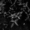 Thicket Details 039 (noahbw) Tags: captaindanielwrightwoods d5000 dof nikon abstract blackwhite blackandwhite blur bw dark darkness depthoffield forest leaves light lowlight monochrome natural noahbw shadow square summer woods