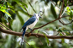 Nicaragua - Isla Ometepe: blue jay (Exper!ence it) Tags: nicaragua isla ometepe nature birds monkeys rainforest beauty nikond300 80400mm