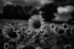 Sunflower Eclipse (Jonathan Goddard1) Tags: pentax k1 fullframe pentaxm 50mm f14 manualfocus manuallens sunflower sunflowers depthoffield dof monochrome blackandwhite mono bnw noiretblanc