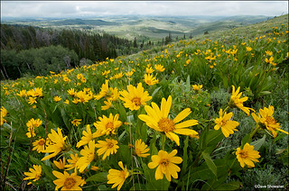 Wildflowers Above Noble Basin