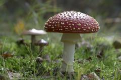Vliegenzwam - Bulskampveld - Belgium (wietsej) Tags: vliegenzwam bulskampveld belgium sony a7rii a7rm2 sel100f28gm 100 stf mushroom paddestoel fungus wietse jongsma