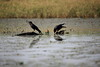 IMG_3824 (yasushiinanaga) Tags: canon eos 6d sigma 150 600 outside natuer japan bird water crow waterside landscape