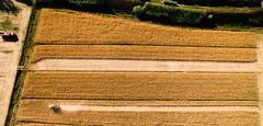 Harvester at work (Jacopo Marcovaldi) Tags: campibisenzio toscana italia it harvester mietitrebbia field fields campo campi mietere yellow giallo lines linee linea line grid griglia path percorso dji phantom phantom3 advanced aerial aerea aerials aree drone fly volo