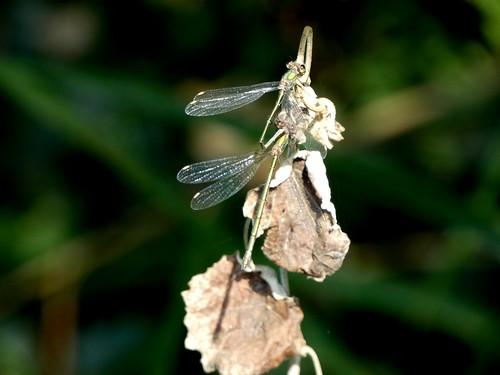 Mating  Chalcolestes viridis