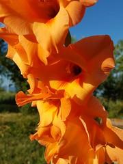 Gladiolus hybridum (Iggy Y) Tags: gladiolushybridum gladiolus hybridum summer blossom flower orange color flowers nature garden plant gladiola sablje swordlily lily green leaves sunny day light