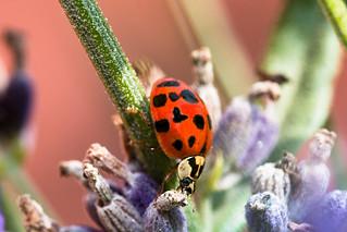 Marienkäfer an Lavendel - Ladybug on Lavender
