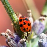 Marienkäfer an Lavendel - Ladybug on Lavender thumbnail