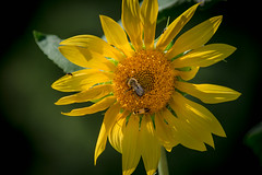 Nature's grocery store... (knoxnc) Tags: bokeh lightingbug afternoonsun nikon nature bumblebee closeup insectsleaves sunflower sunlight d7200 pollen