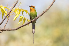 Böhms bee-eater (Merops boehmi) (Asif Kassam) Tags: bird beeeater bohms merops boehmi colourful malawi lake birdwatching ornithology böhms avian africa colors beak perched feathers redeye